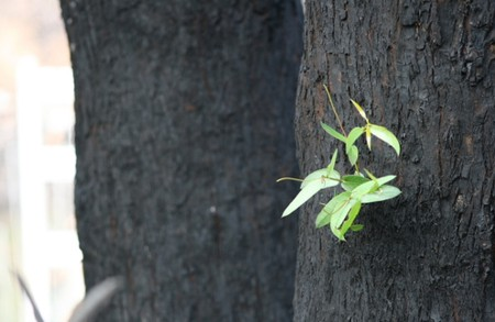 bud emerges from burnt gum tree